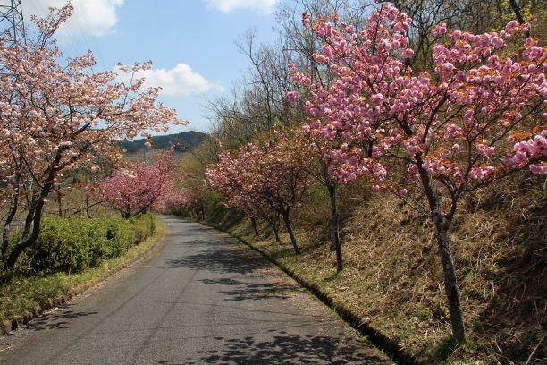 つれづれ385 八重桜の観察